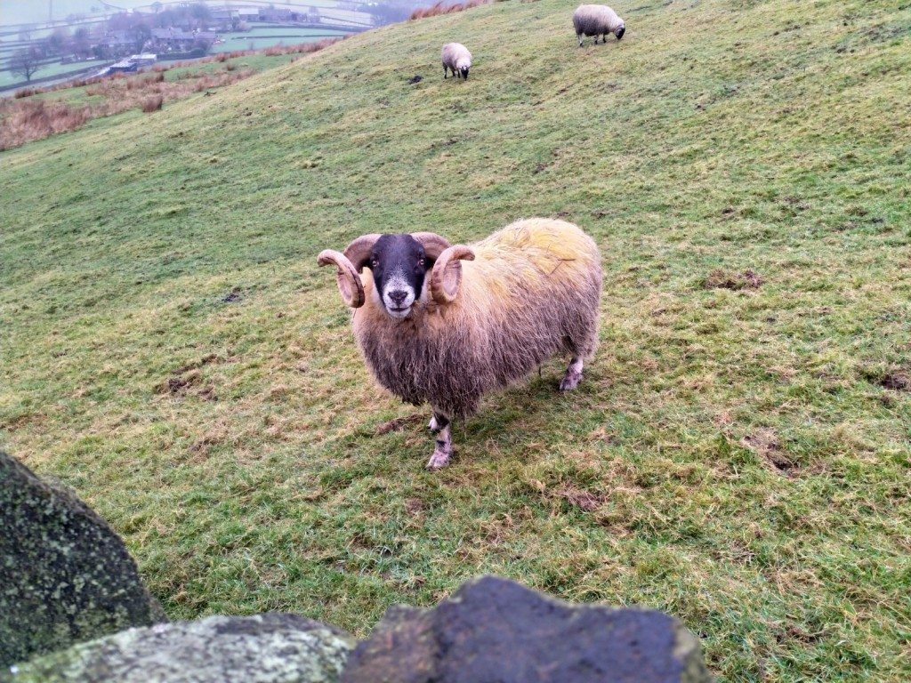 Ram posing face on to the camera, there are two ewes in the background which is a sloped field.